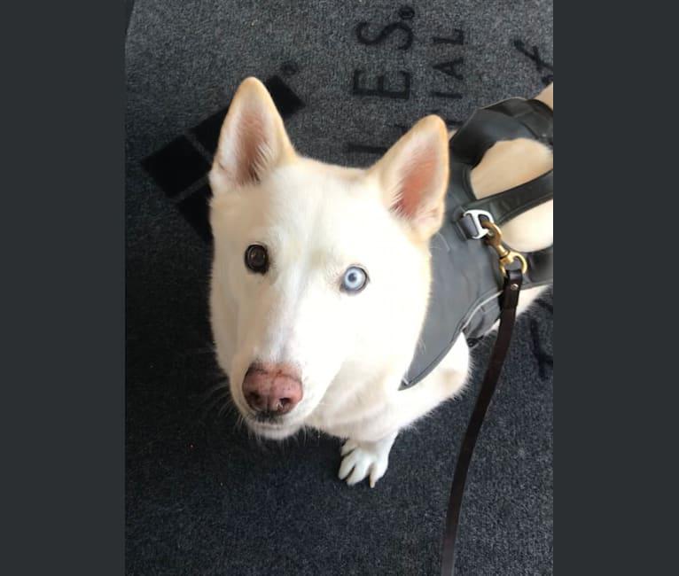 Photo of Hattie, a Siberian Husky  in Houston, Texas, USA