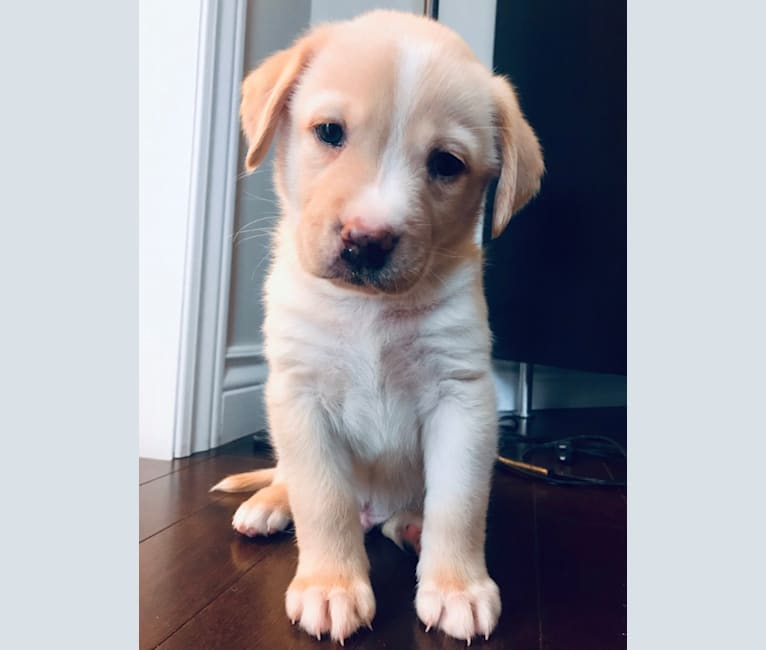 Photo of Stanley Pup, a Labrador Retriever, Alapaha Blue Blood Bulldog, and Pomeranian mix in Bowmanville, Ontario, Canada