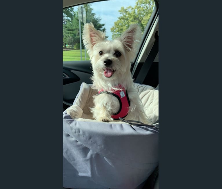Photo of Muldoon, a Maltese and Cairn Terrier mix in Clawson, Michigan, USA