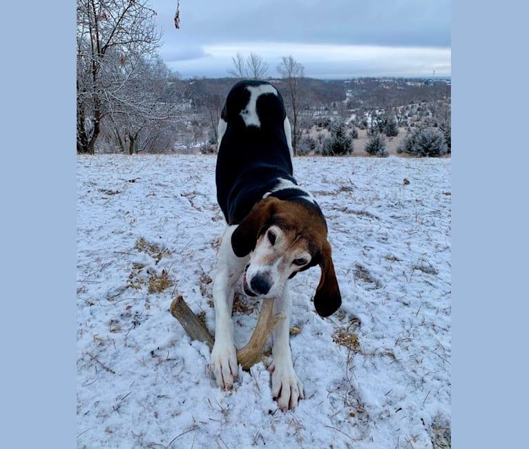 Photo of Rosie, a Treeing Walker Coonhound  in Sioux City, Iowa, USA