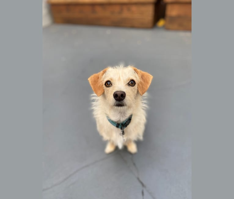 Photo of Bailey, a Chihuahua, Bichon Frise, Poodle (Small), and Mixed mix in California, USA