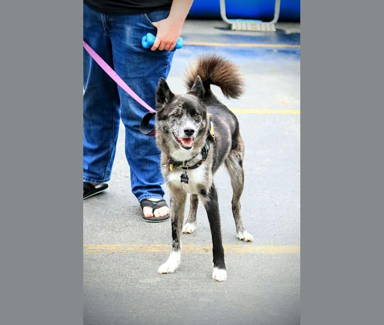 Photo of Dash, a Siberian Husky, Chow Chow, and Labrador Retriever mix