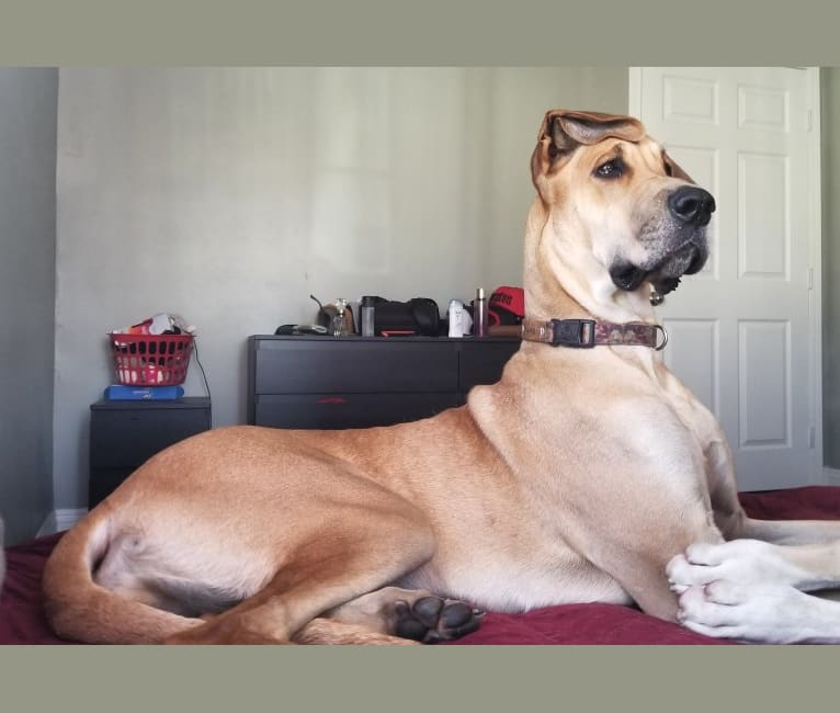Photo of RGD's Remy Reign, a Great Dane  in Compton, California, USA