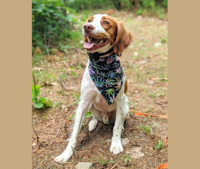 Photo of Oliver, a Brittany  in Lowell, MA, USA