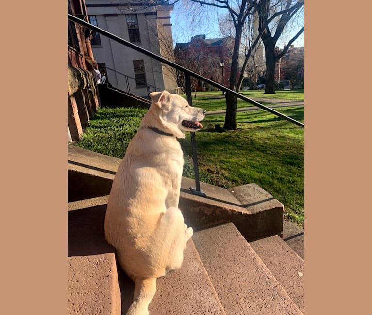 Photo of Philip, an American Pit Bull Terrier, Australian Shepherd, Labrador Retriever, and Mixed mix in Providence, Rhode Island, USA