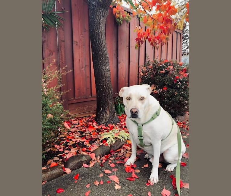 Photo of Hank, an American Pit Bull Terrier, Chow Chow, German Shepherd Dog, Australian Cattle Dog, and Mixed mix in Merced, California, USA