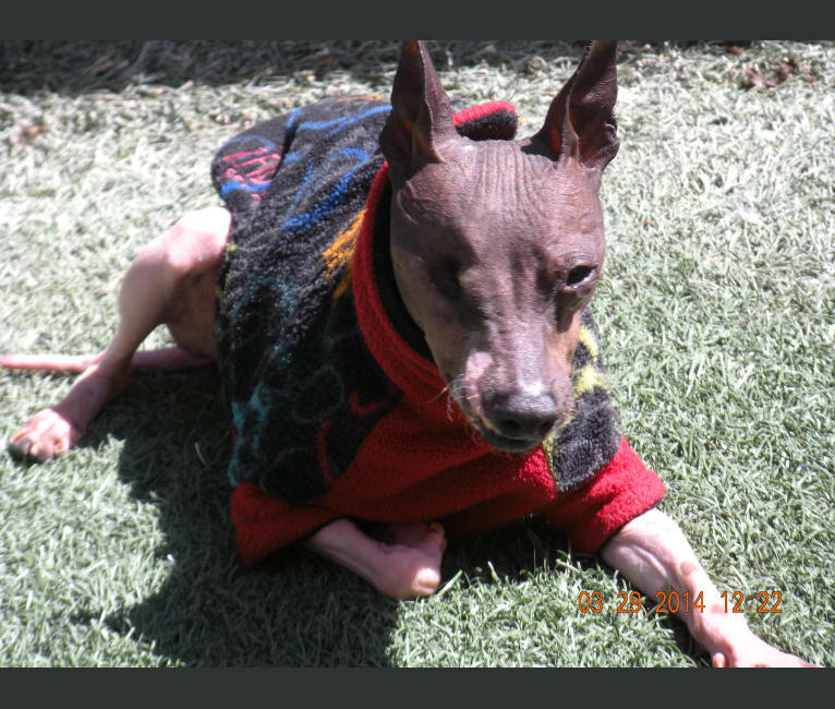 Photo of Lacie, an American Hairless Terrier