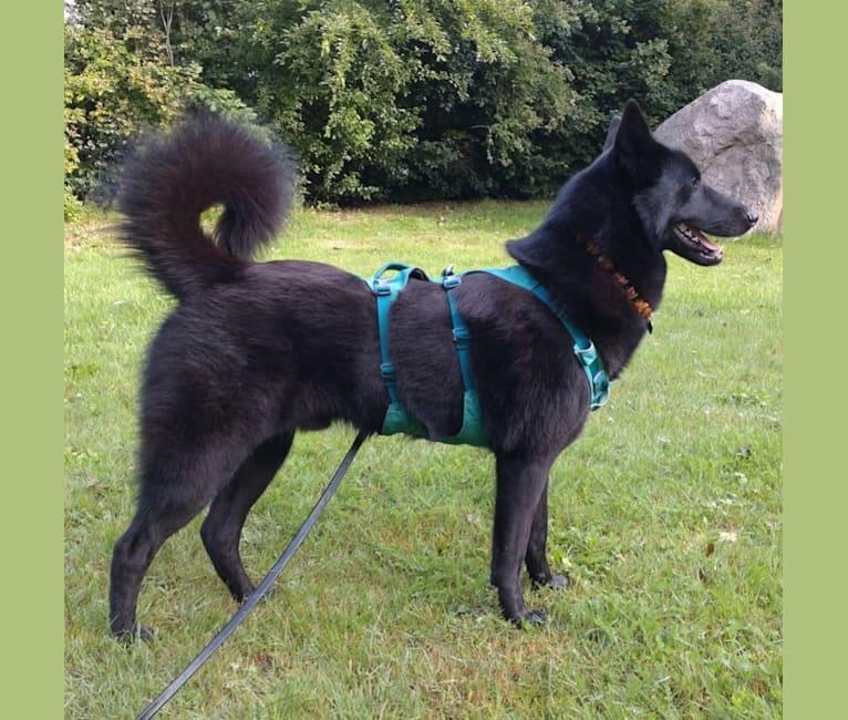 Photo of Zackie, a Canaan Dog  in Castelnau-Montratier, 46170 Castelnau-Montratier-Sainte-Alauzie, Frankrike