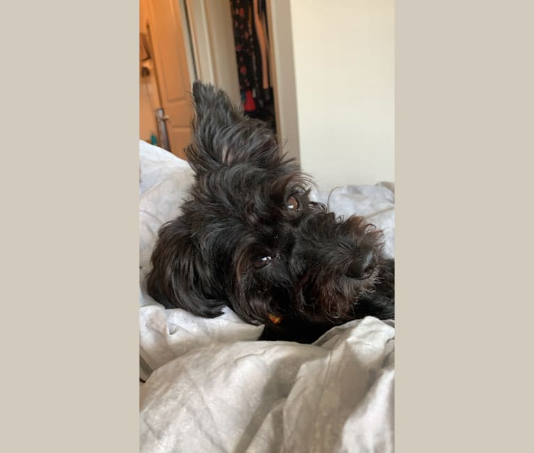 Photo of Brody, a Yorkshire Terrier, Poodle (Small), and Silky Terrier mix in Georgia, USA