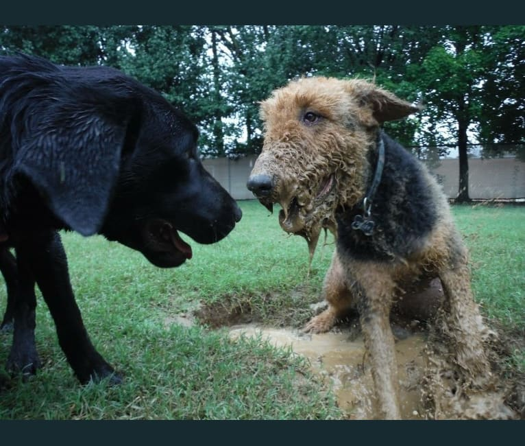 Photo of Sulley, an Airedale Terrier  in Airedale Acres, Madison 1323, Huntsville, AR, USA