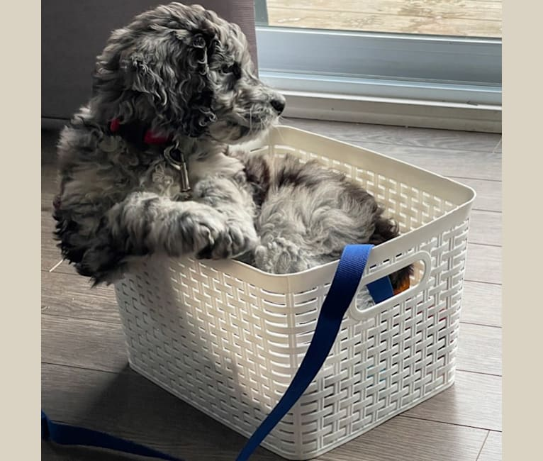 Photo of Juno Thedoodle, a Goldendoodle  in Ottawa, Ontario, Canada