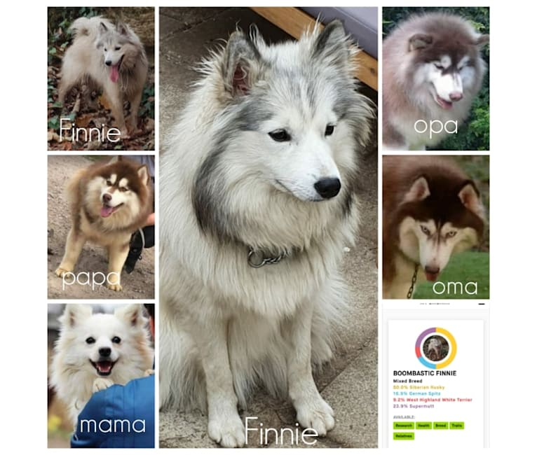 Photo of Finnie, a Siberian Husky, German Spitz, and Mixed mix in Eindhoven, Nederland