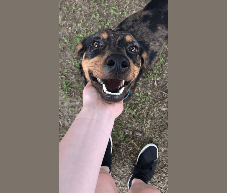 Photo of Jennie, a Catahoula Leopard Dog and Mixed mix in Nacogdoches, Texas, USA