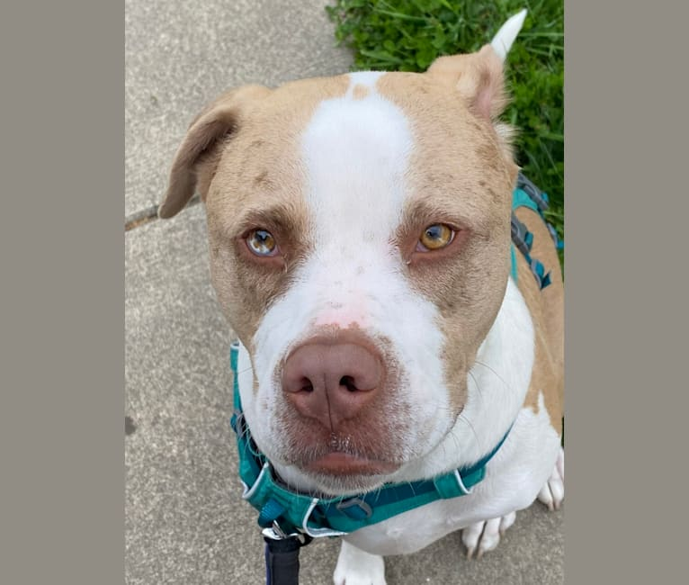 Photo of Frank, an American Pit Bull Terrier, Australian Shepherd, and American Staffordshire Terrier mix in Anderson, Indiana, USA