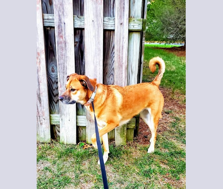 Photo of Maddie, an American Pit Bull Terrier, Boxer, Golden Retriever, Beagle, American Foxhound, and Mixed mix in West Virginia, USA