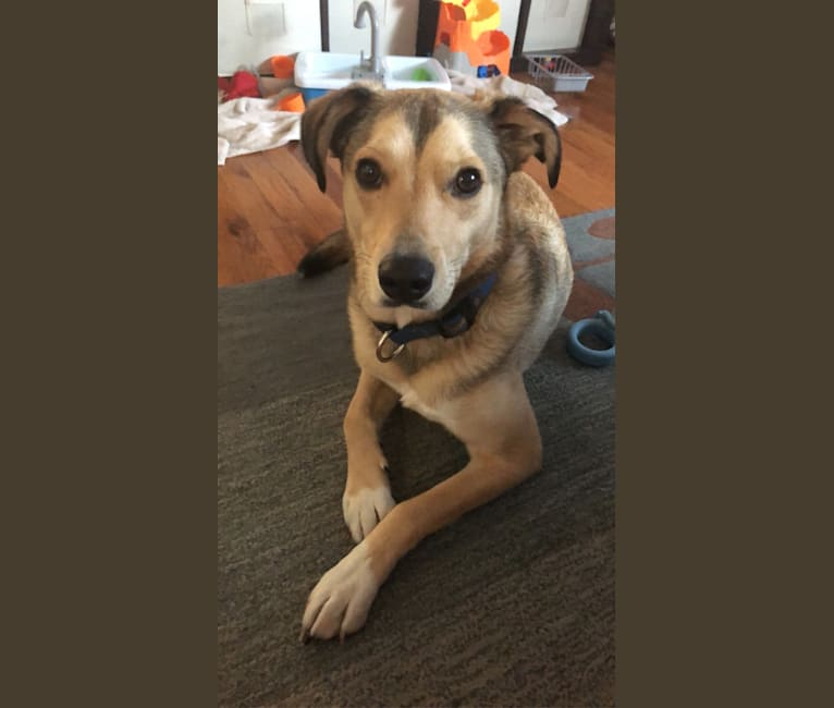 Photo of Lucky, an American Pit Bull Terrier, Australian Cattle Dog, German Shepherd Dog, and Chihuahua mix in Houston, TX, USA