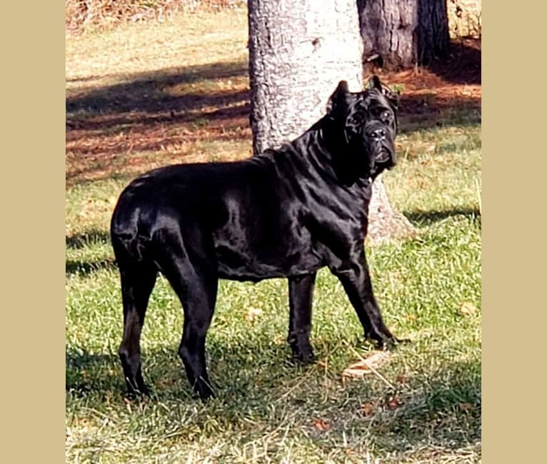 Photo of Onyx, a Cane Corso  in New Mexico, USA