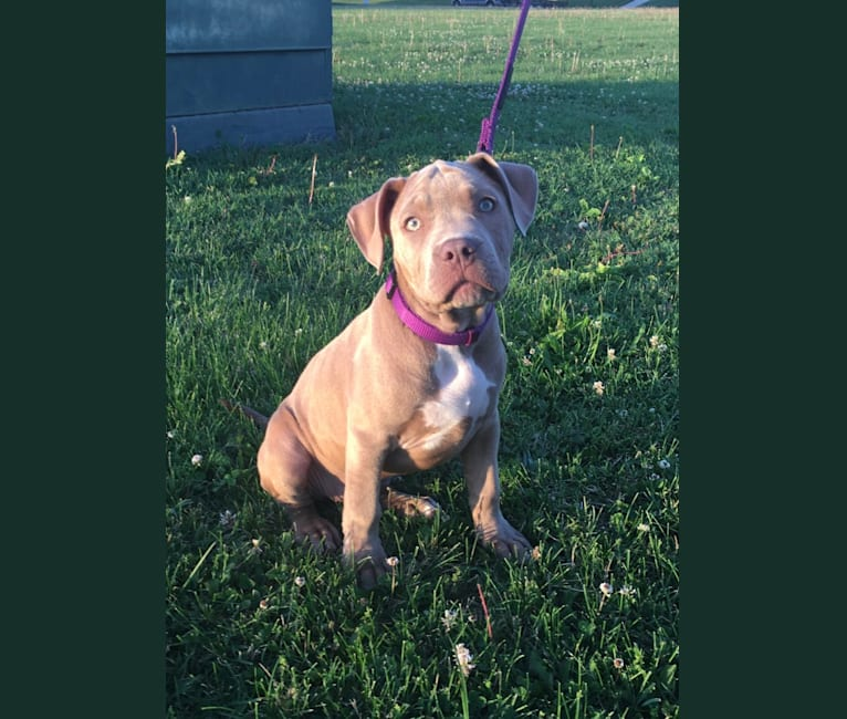 Photo of Brooklyn, an American Pit Bull Terrier and American Staffordshire Terrier mix in Chicago, IL, USA