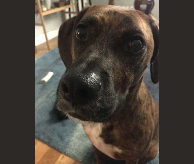 Photo of Jackson, an American Pit Bull Terrier, American Foxhound, Treeing Walker Coonhound, and American Staffordshire Terrier mix in Milwaukee, Wisconsin, USA