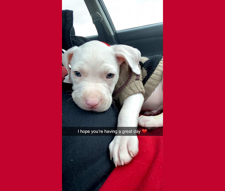 Photo of Apollo, an American Pit Bull Terrier and American Staffordshire Terrier mix in Circleville, Ohio, USA