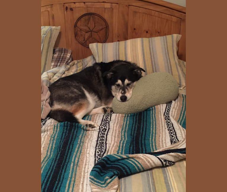Photo of Bella, a Labrador Retriever and Siberian Husky mix in Grapevine, Texas, USA