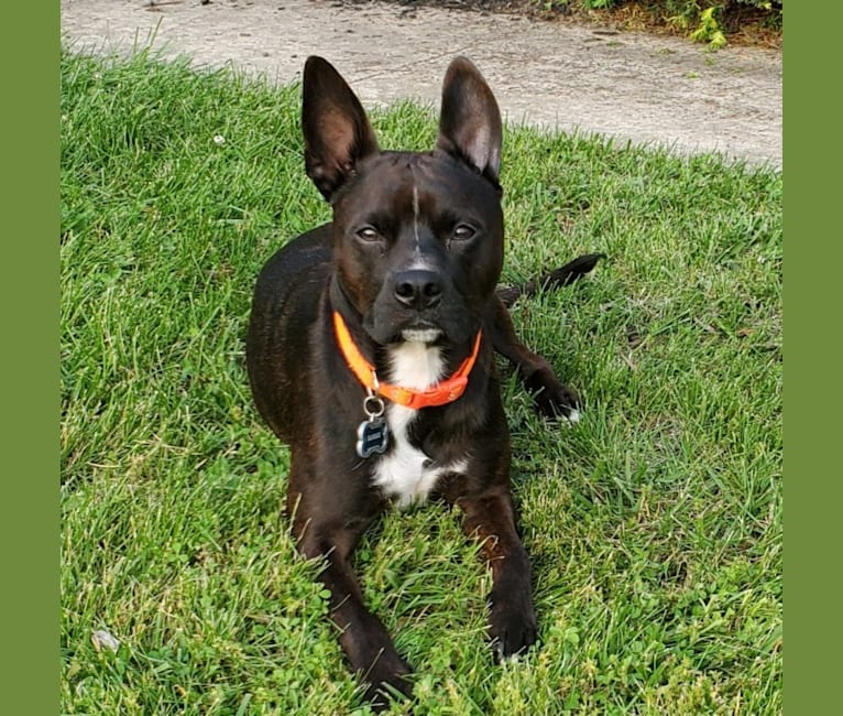 Photo of RADAR, a Boston Terrier, American Pit Bull Terrier, and Boxer mix in Kentucky, USA