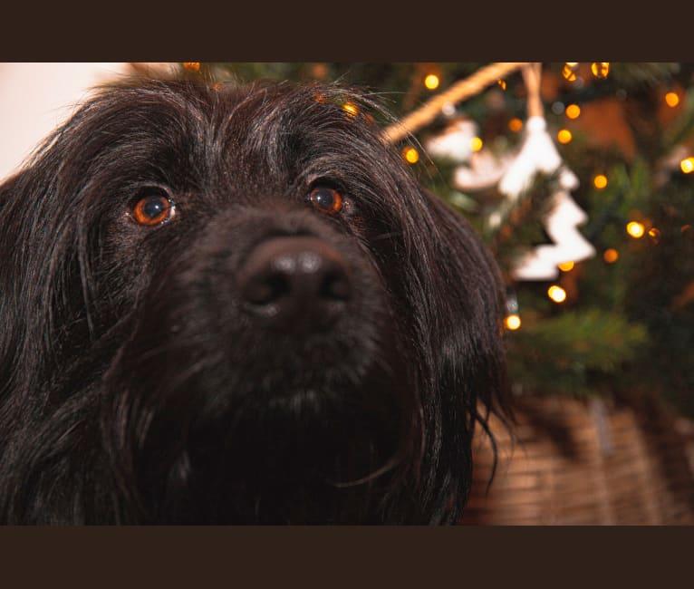 Photo of Hero, a German Shepherd Dog, Poodle (Small), Yorkshire Terrier, Pekingese, and Maltese mix in Corfu, Greece