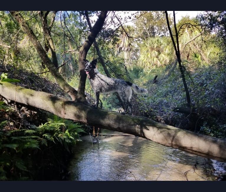 Photo of April, an Australian Cattle Dog, Siberian Husky, Great Pyrenees, Labrador Retriever, and Mixed mix in Athens, Alabama, USA