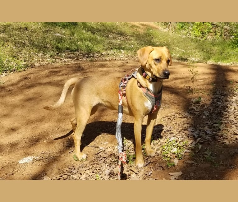 Photo of EvaMarie, a Beagle, American Pit Bull Terrier, Llewellin Setter, Redbone Coonhound, Chow Chow, and Boxer mix in Roanoke, Virginia, USA