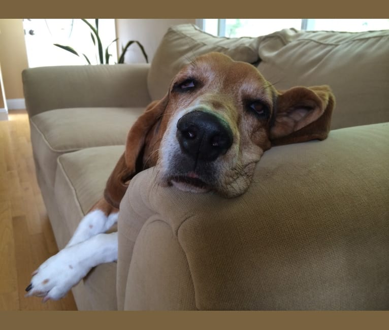 Photo of Daisy, a Basset Hound  in Cudahy, Wisconsin, USA