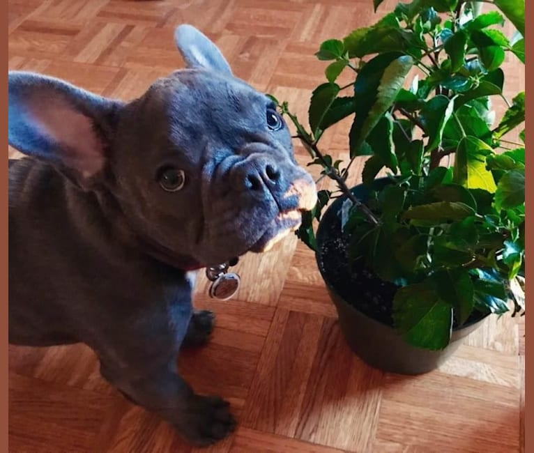 Photo of Julian Marciante, a French Bulldog  in Brooklyn, NY, USA