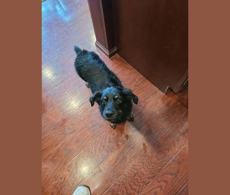 Photo of J.D., a Yorkshire Terrier and Dachshund mix in Edwardsville, Illinois, USA