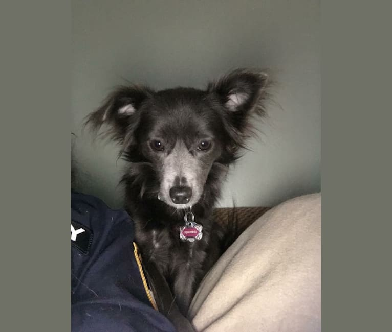 Photo of Squirrell, a Chihuahua and Rat Terrier mix in Oak Ridge, Tennessee, USA