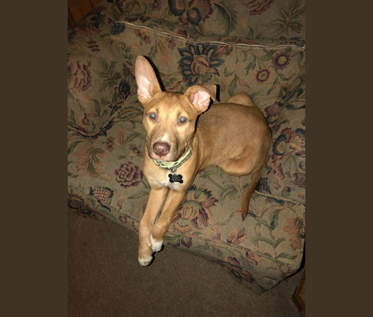 Photo of Cosmo, an American Pit Bull Terrier, Boxer, and Australian Cattle Dog mix in Knoxville, Tennessee, USA