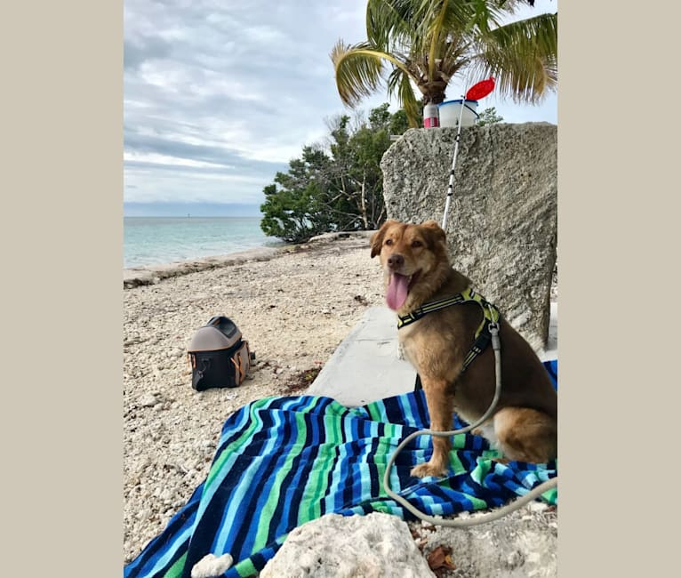 Photo of Navi, an American Bulldog, Chow Chow, German Shepherd Dog, and Mixed mix in Fort Lauderdale, Florida, USA