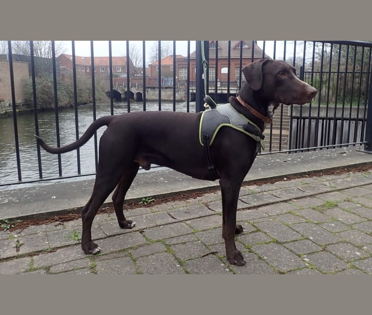 Photo of Byker, a Dalmatian and Doberman Pinscher mix in Leicester, England, United Kingdom