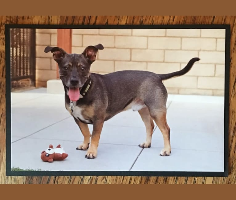 Photo of Biggie Smalls, a Chihuahua and American Pit Bull Terrier mix in San Diego, California, USA
