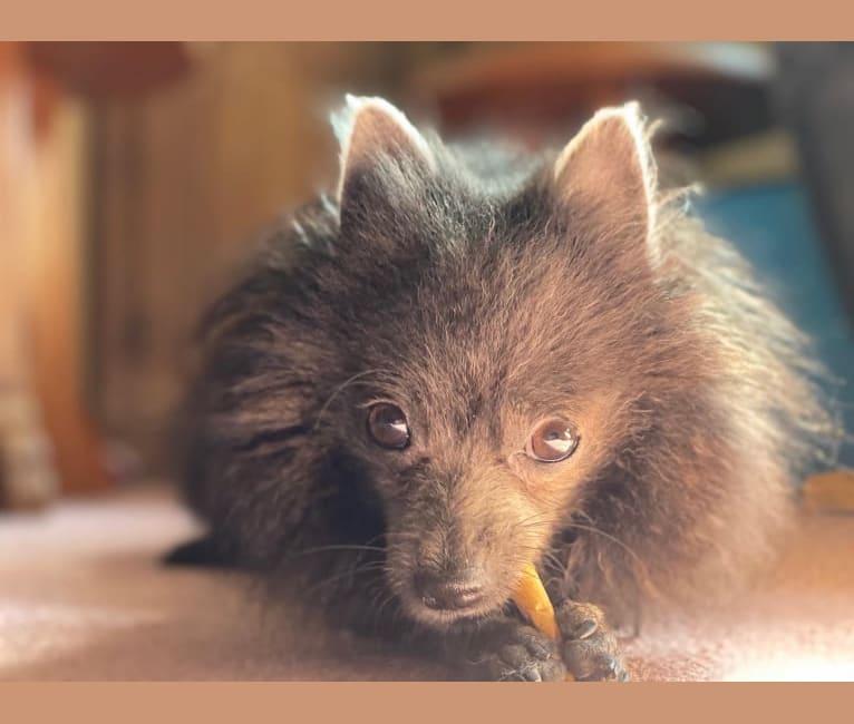 Photo of Bat Boy, a Pomeranian  in New York, USA