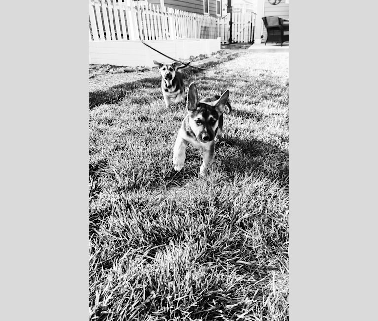 Photo of Danny Boy, a German Shepherd Dog, American Pit Bull Terrier, and Siberian Husky mix in Houston, Texas, USA