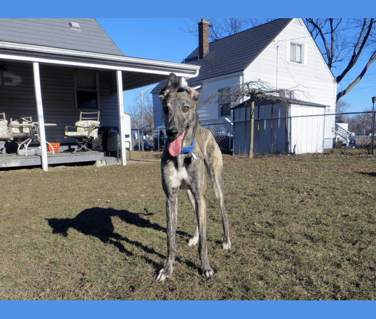 Photo of Gina, a Greyhound  in Incheon, Incheon, South Korea