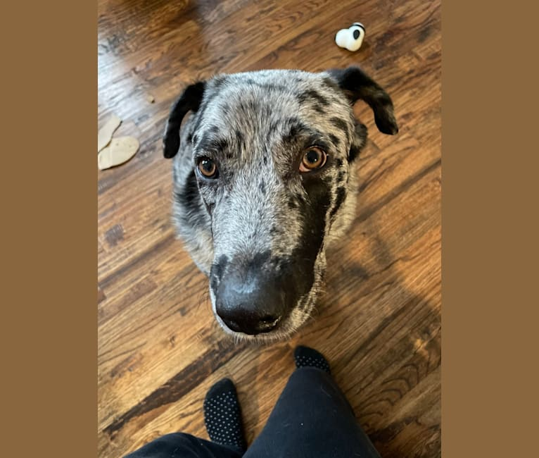 Photo of Anani, a Great Pyrenees, Labrador Retriever, American Pit Bull Terrier, Australian Cattle Dog, and Chow Chow mix in SPCA of Texas' Jan Rees-Jones Animal Care Center, Lone Star Drive, Dallas, TX, USA