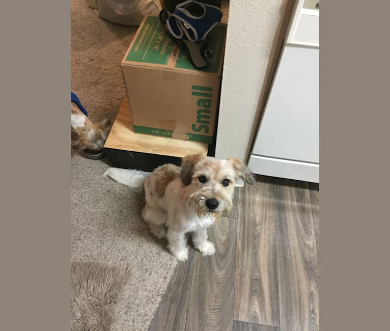 Photo of Chalupa Batman, a Yorkshire Terrier, Australian Cattle Dog, Miniature/MAS-type Australian Shepherd, Pekingese, and Mixed mix in Arkansas, USA