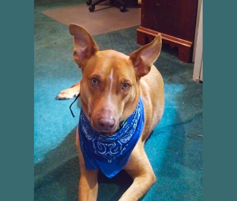 Photo of Stanley, an American Pit Bull Terrier, German Shepherd Dog, and Beagle mix in Pennsylvania, USA