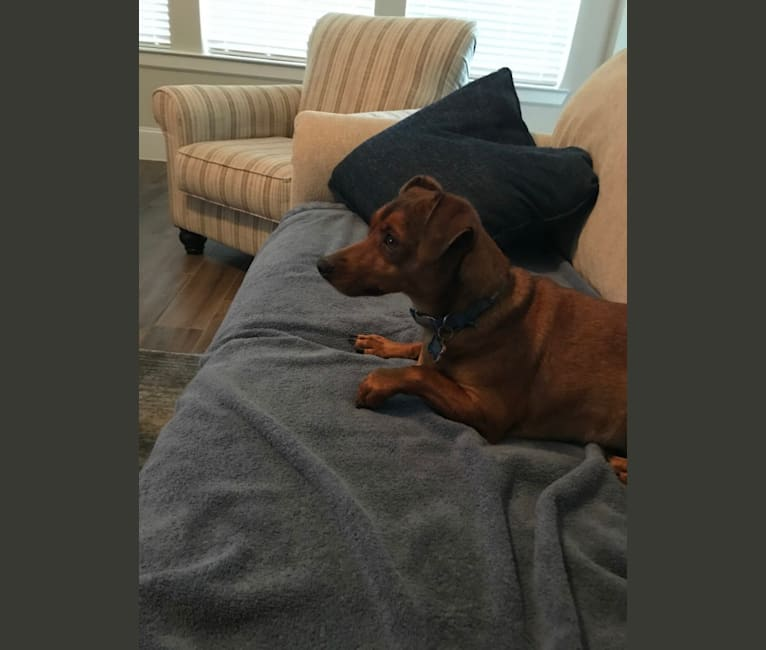 Photo of Rocky, a Miniature Pinscher, Chihuahua, and Mixed mix in Texas City, Texas, USA