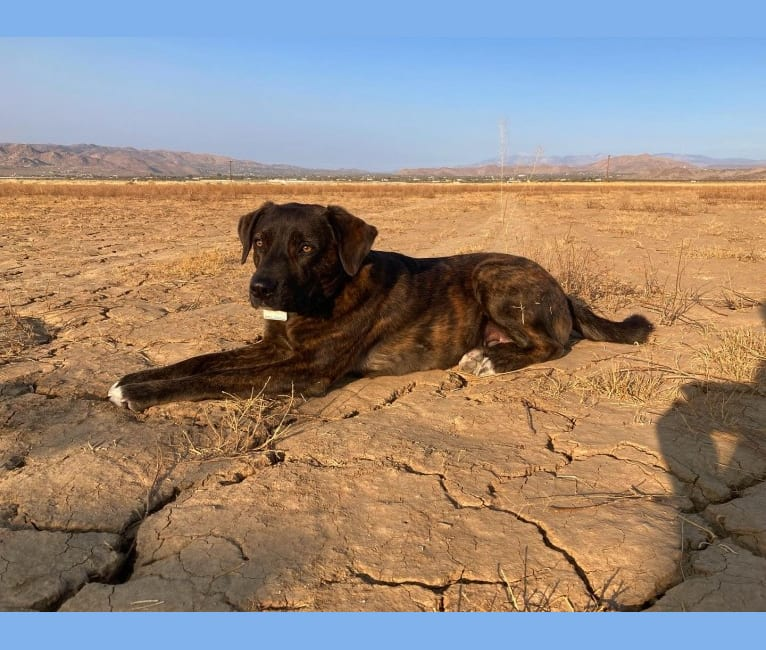Photo of Olive Boehl-Beard, an American Pit Bull Terrier, Boxer, and Chow Chow mix in Los Angeles, California, USA