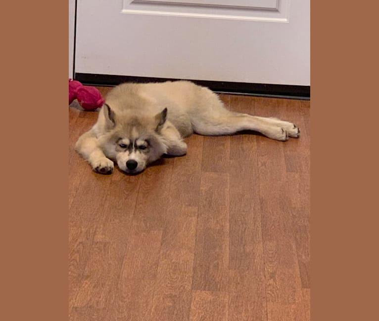 Photo of Amarillo Skye, a Siberian Husky  in Oak Ridge, Tennessee, USA