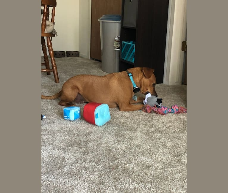 Photo of Penny, an American Pit Bull Terrier and Russell-type Terrier mix in Novi, Michigan, USA
