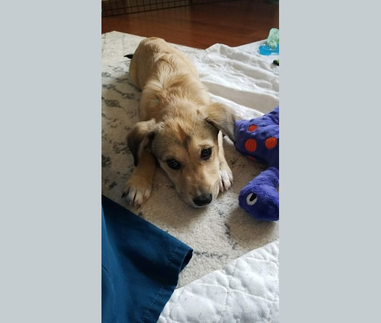 Photo of Stella, an Australian Cattle Dog, Great Pyrenees, Chihuahua, and Mixed mix in Alabama, USA