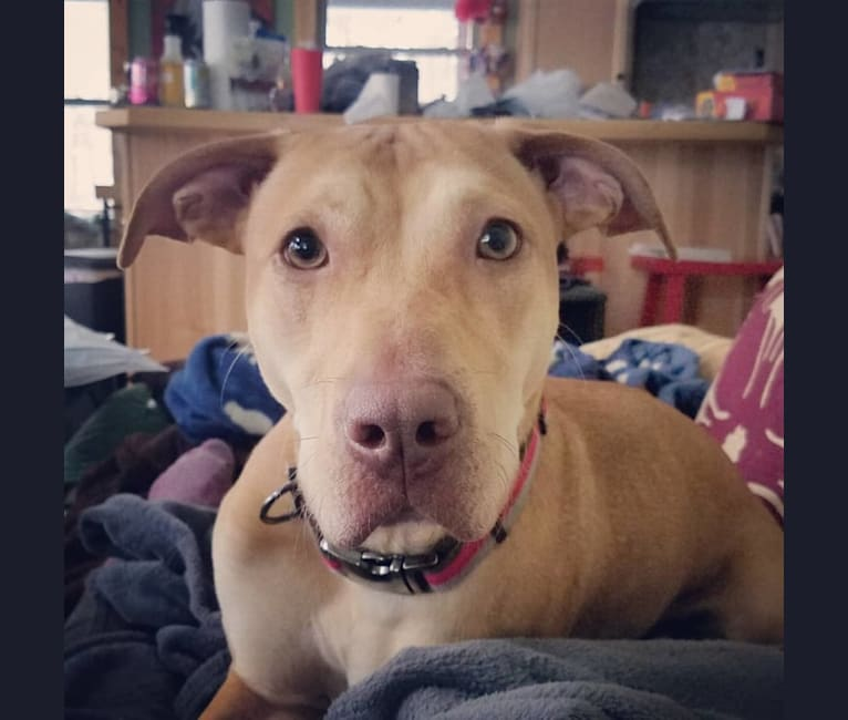 Photo of Figg, an American Pit Bull Terrier, Labrador Retriever, American Staffordshire Terrier, and Rottweiler mix in Cedar Springs, Michigan, USA