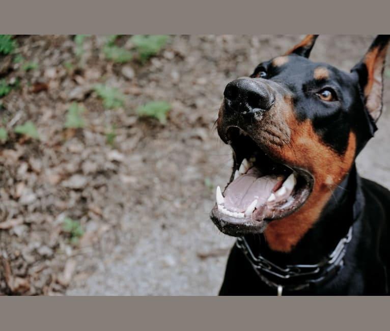 Photo of Ghost, a Doberman Pinscher  in Windsor, ON, Canada